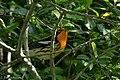 Blackburnian Warbler (male) Anahuac NWR-Jackson Prairie Woodlot TX 2018-04-24 15-37-57 (41337364924).jpg