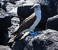 Blue-footed booby (47939939743).jpg
