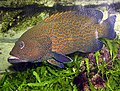 Blue-spotted.grouper.arp