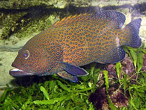 List Of Marine Aquarium Fish Species Wikipedia