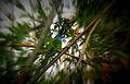 Blue-throated Barbet.jpg