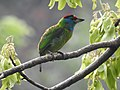 Blue-throated Barbet Megalaima asiatica by Dr. Raju Kasambe DSCN4094 (5).jpg