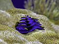 Blue Christmas Tree Worm.jpg