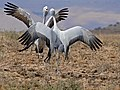 Blue Cranes (Anthropoides paradiseus) couple parading ... (32488777361).jpg
