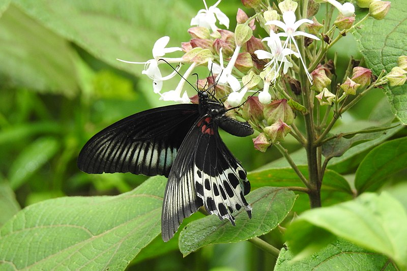 File:Blue Mormon Papilio polymnestor by Dr. Raju Kasambe DSCN0783 (12).jpg