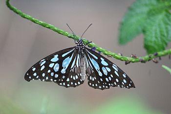 Blue Spotted Butterfly.jpg