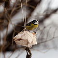 Blue Tit Series I (16120188096).jpg