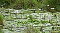 Blue Water Lilies (Nymphaea caerulea) in a small pond ... (32749839328).jpg