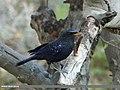 Blue Whistling Thrush (Myophonus caeruleus) (15931700164).jpg