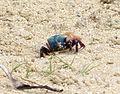 Blue backed Fiddler Crab. Blue-backed Fiddler Crab. Uca tetragonon - Flickr - gailhampshire.jpg