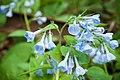 Bluebells (13170026163).jpg