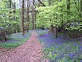 Bluebells in Wyesea Wood - geograph.org.uk - 167384.jpg