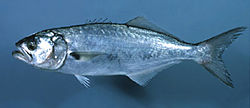 Bluefish noaa.jpg