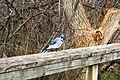 Bluejay (7033918669).jpg