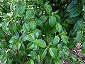 Bobea sandwicensis.jpg