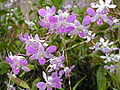 Boholflora51.jpg