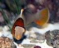 Bolbometopon bicolor 2zz.jpg