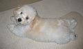 Bolognese puppy.jpg