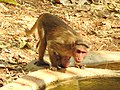 Bonnet Macaque Macaca radiata with young by Dr. Raju Kasambe DSCN0473 (2).jpg