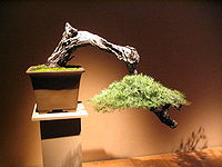 Photograph of cascade-style conifer bonsai