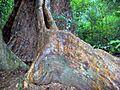 Booyong Reserve Syzygium & Booyong.jpg