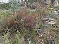 Boronia boliviensis 02.jpg