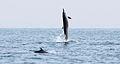 Bottlenose Dolphin (5957645394).jpg
