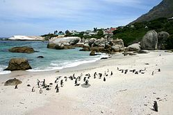 Penguins on Boulders Beach in Cape Town