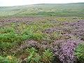 Bracken and heather, Turvin Clough, Mytholmroyd - geograph.org.uk - 1461367.jpg