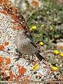 Brandt's Mountain Finch (Leucosticte brandti).jpg