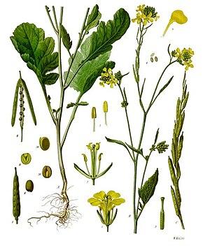 Des vertus des plantes par Macer Floridus, 1832 290px-Brassica_nigra_-_K%C3%B6hler%E2%80%93s_Medizinal-Pflanzen-170