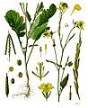 Brassica nigra - Köhler–s Medizinal-Pflanzen-170.jpg