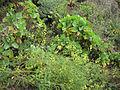 Brassica sp (6062150771).jpg
