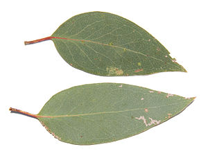 Eucalyptus dives - Image: Broad leaved peppermint 442