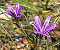 Brodiaea appendiculata 2.jpg