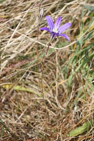 Brodiaea coronaria - Crown brodiaea