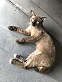 Brown Cat of Siam Square.jpg