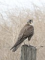 Brown Falcon (Falco berigora) (32379623804).jpg