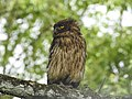 Brown fish owl Ketupa zeylonensis 06.jpg