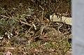 Brown shrike (Lanius cristatus) from Valparai JEG8099.jpg