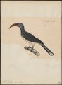 Buceros limbatus - 1835 - Print - Iconographia Zoologica - Special Collections University of Amsterdam - UBA01 IZ19300117.tif