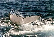 A Humpback Whale tail has wavy rear edges.