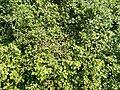 Buda Arboreta Lower Garden. Ribes (Ribes alpinum). - Budapest.JPG