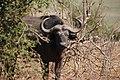 Buffalo in Chobe National Park - Botswana - panoramio.jpg