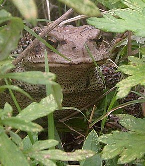 Description de l'image Bufo gargarizans frontal.jpg.