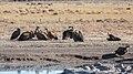 Buitres dorsiblancos africanos (Gyps africanus), Santuario de Rinocerontes Khama, Botsuana, 2018-08-02, DD 24.jpg