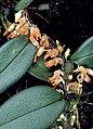 Bulbophyllum schillerianum - cropped.jpg