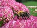 Bumble Bee on Sedum - geograph.org.uk - 992043.jpg