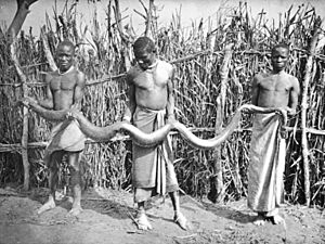 black and white photo, showing 3 African men dressed in loincloths holding an outstretched snake