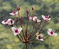 Butomus umbellatus-IMG 4691.jpg